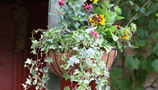 Hanging Baskets (24)